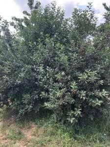 Smederevo nekretnine - Prodajem vocnjak u punom rodu (visnja i tresnja)