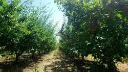 Irig nekretnine - Mlad voćnjak šljive